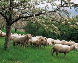 Πώς θα διαμορφωθούν οι τιμές σε αρνιά και κατσίκια το φετινό Πάσχα