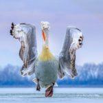 """Πρώτο βραβείο στην έκθεση """"Birdfair"""" η φωτογραφία του δαλματικού πελεκάνου της λίμνης Κερκίνης, για την Περιφέρεια Κεντρικής Μακεδονίας"""