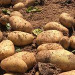 Συνάντηση Δημάρχου Μεσσήνης με Υπουργό Αγρ. Ανάπτυξης για μέτρα προστασίας παραγωγής πατάτας