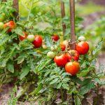 Επικίνδυνος ιός για τομάτες και πιπεριές εντοπίστηκε στην Π.Ε. Κορινθίας