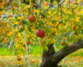 Π.Ε. Σερρών: Ψεκασμοί για την αντιμετώπιση της καρπόκαψας σε καλλιέργειες μηλοειδών και καρυδιάς