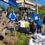 Δυο ακόμα υπεραιωνόβιες ελιές μεταφυτεύτηκαν στον Δήμο Ιλίου