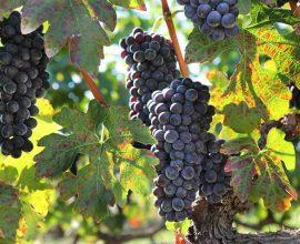 Διαγωνισμός φωτογραφίας με θέμα τον τρύγο και την παραγωγή κρασιού διοργανώνει ο Δήμος Νάουσας