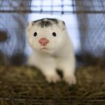 ΠΔΜ: Δεν εντοπίστηκαν επικίνδυνες μεταλλάξεις στα γουνοφόρα ζώα